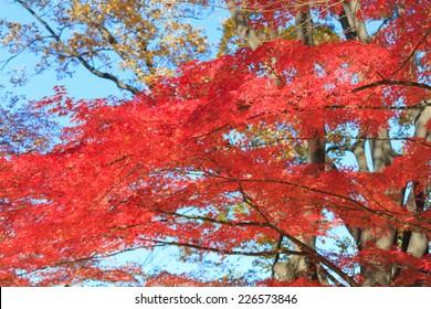 Autumn leaves in Musashino park, Tokyo