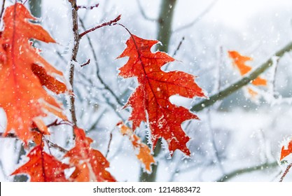 Autumn leaves of oak  in a hoarfrost. Autumn frosts. Autumn frozen leaves background. Shallow depth of field