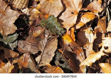 autumn leaves, Oirase stream, Aomori prefeture, Japan