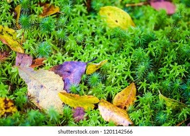Autumn leaves on forest moss macro scene. Autumn moss leaves closeup. Moss leaves in autumn macro view. Autumn moss leaves