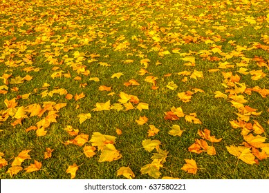 Autumn leaves on lawn at Green Lake Park, Seattle, photographed in early November with late afternoon light.