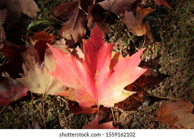 Autumn Leaves on Mossy Ground