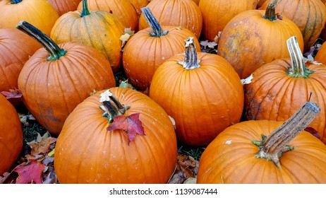 autumn leaves on orange pumpkins in pumpkin patch