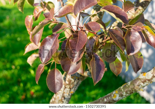 Autumn Leaves On Pear Tree Beautiful Stock Photo Edit Now 1502730395