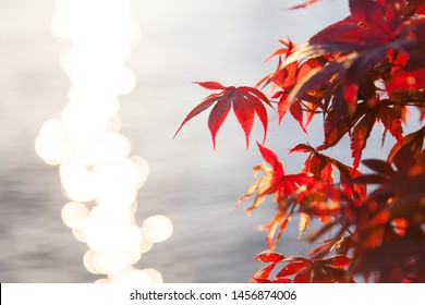 Autumn leaves on sea background. Red and orange tree near water glare. Japanese maple. Copy space, place for text.