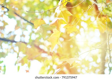 Autumn leaves on the sun and blurred trees.