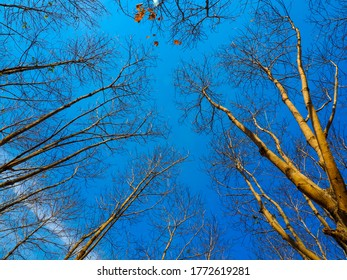 Autumn leaves on tree with the blue sky, in nature landscape of winter meadow of Thailand.