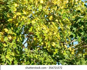 Autumn leaves on autumn tree in Medias, Romania.