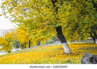 autumn leaves on tree with yellow and green leaves