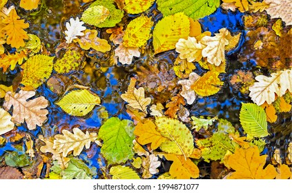 Autumn leaves in a puddle. Autumn leaves in puddle. Puddle autumn leaves top view. Puddle autumn leaves
