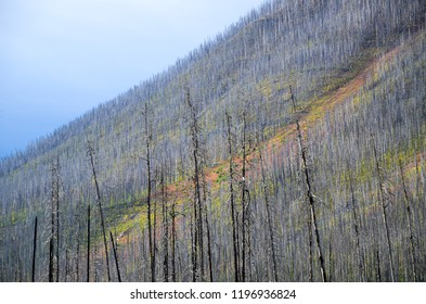 Autumn leaves in the site of forest fire, Kootenay National Park, Canadian Rockies, British Columbia, Canada