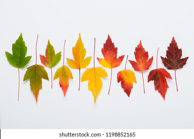 Autumn leaves soft gradient transition from greed to dark red. Fall colors season cycle change concept flat lay.