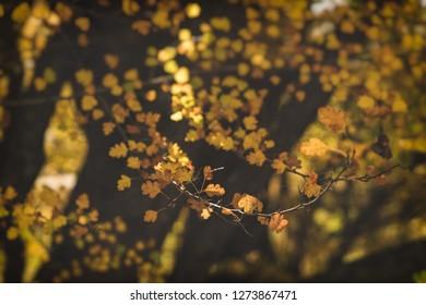 Autumn leaves in sunlight