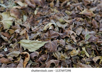 Autumn leaves that have dropped off a tree in the forest and are lying on the ground, with the foreground in focus