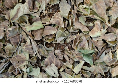 Autumn leaves that have dropped off a tree in the forest and are lying on the ground, with some of the soil underneath showing between the leaves