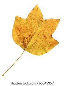 Autumn leaves of a tulip tree, under-surface
