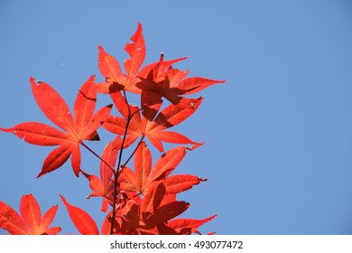 Autumn leaves - The leaves turn red in the fall.