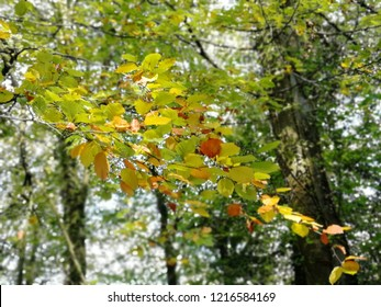 Autumn leaves turning red and yellow with forest in background