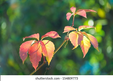 Autumn leaves of wild grapes