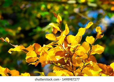 Autumn leaves. Yellow leaves on a beech branch.