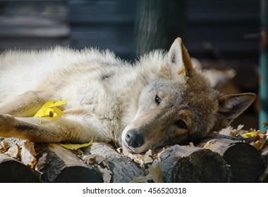Autumn of the life (old wolf covered with yellow autumn leaves)