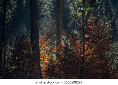 Autumn light in the dark mixed forest