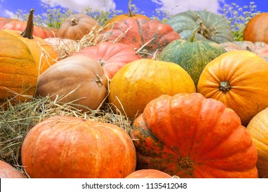 Autumn mabon background with organic nature yellow and orange bunch of  pumpkins close up on the flowers and blue-sky background sunny day