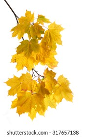 Autumn maple branch with golden leaves on white background.
