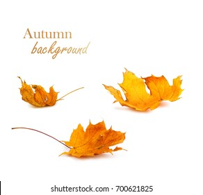 Autumn maple branch with leaves isolated on  white background