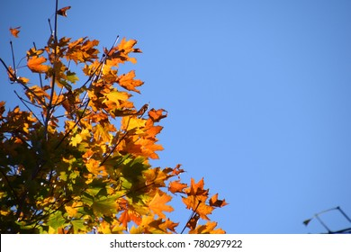 Autumn maple branches and leaves seen from below