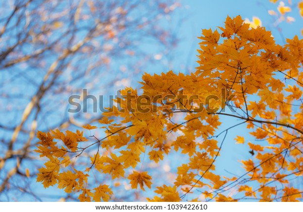 autumn maple foliage in the foreground against the sky background