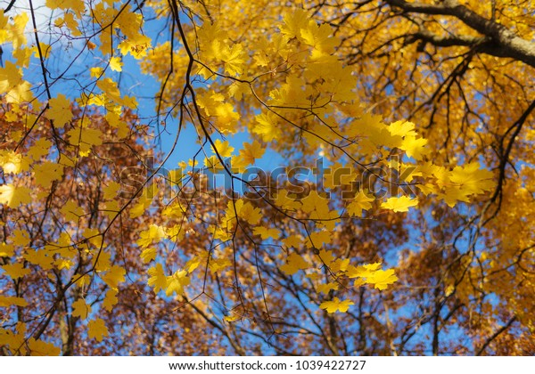 autumn maple foliage in the foreground in sunny day