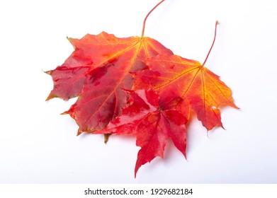 Autumn maple leaf. banner autumn pattern maple leaf brightly on a white background