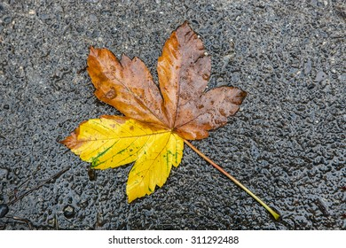 autumn maple leaf lying on the wet ground