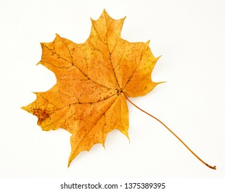Autumn maple leaf pale yellow cut on pure white background