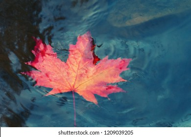 Autumn maple leaf sinking in dark water. Soft focus. Loss, withering, death concept