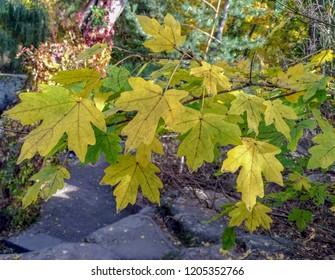 Autumn, maple leaves close-up against a background of park landscape, foliage, stones, bokeh, blur