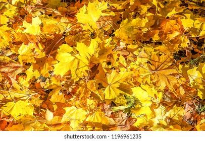 Autumn maple leaves falling. Golden autumn maple leaves background. Autumn maple leaves on ground. Autumn maple leaves view