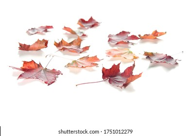 autumn maple leaves isolated on whte background