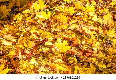 Autumn maple leaves on ground. Golden autumn maple leaves background. Autumn maple leaves scene. Autumn maple leaves view