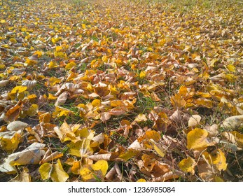 Autumn maple leaves on lawn background