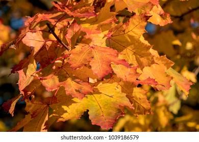 autumn maple leaves on treee