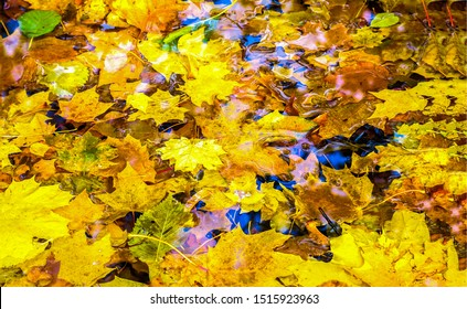 Autumn maple leaves in puddle. Autumna leafs in puddle of water. Autumn maple leaves puddle. Autumn leaves in puddle