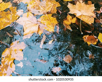Autumn maple leaves in a puddle in the rain (Mobile photography)