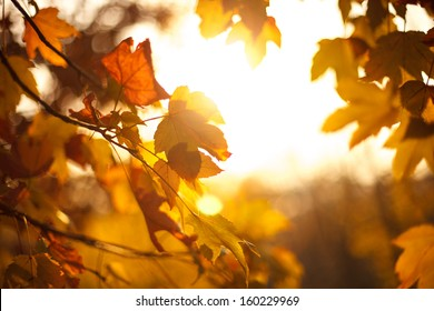 Autumn maple leaves in sunset. Natural background.