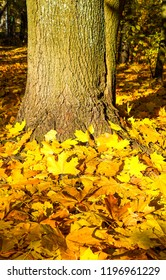 Autumn maple leaves at autumn tree trunk. Golden autumn maple leaves on ground. Autumn maple leaves scene