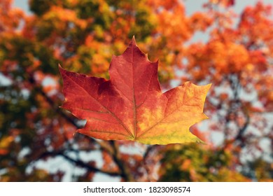 autumn maple orange-red leaf on blurred background of autumn tree crown. Selective focus . Fall