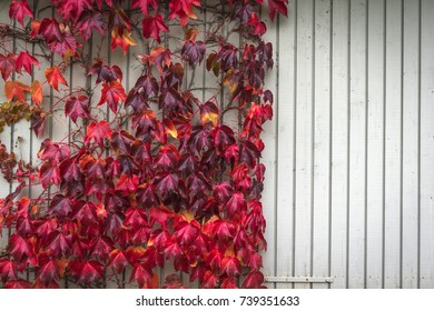 Autumn maple in red colors climbing a wooden wall with bright planks in the fall