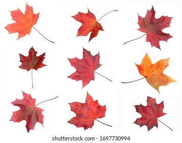 autumn maple red yellow leave isolated on white background