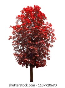 autumn maple tree isolated on white background